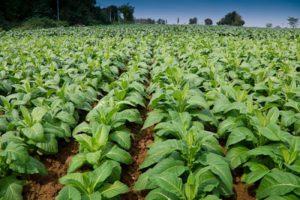plants-de-tabac